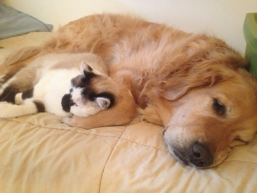 Golden Retriever and cat settled in for a snuggle!