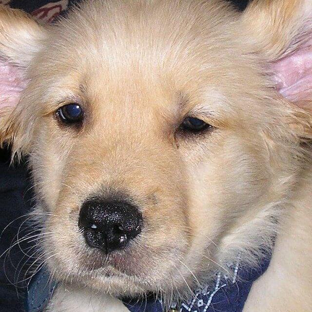 Harley as an adorable Golden Retriever Puppy