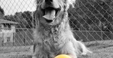Our Golden Retriever Charlie proud to have grabbed a bocce ball