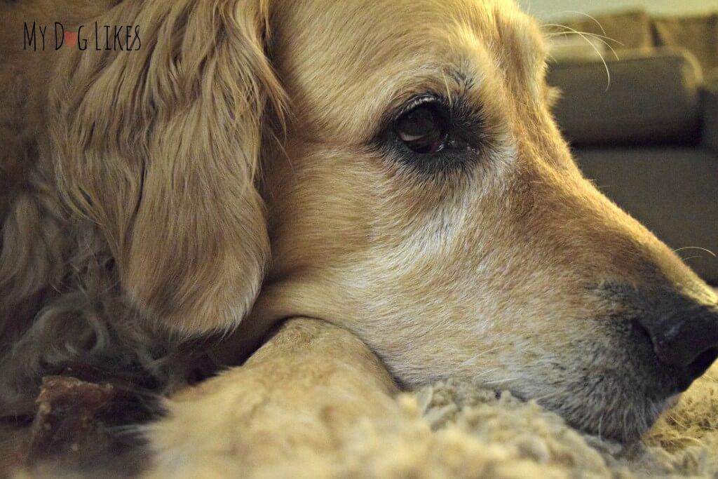 A very satisfied Golden Retriever after enjoying a Himalayan Dog Chew