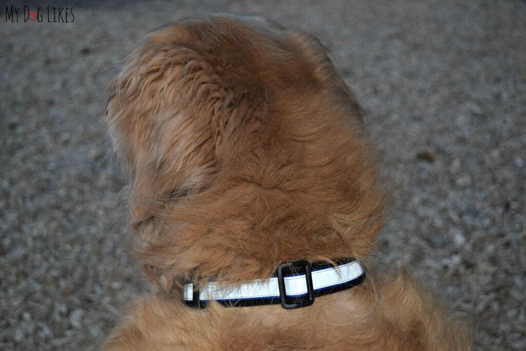 The Illumidog Reflective Dog Collar at dusk