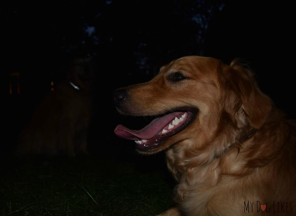 Harley and Charlie wearing their Illumidog Reflective Dog Collars