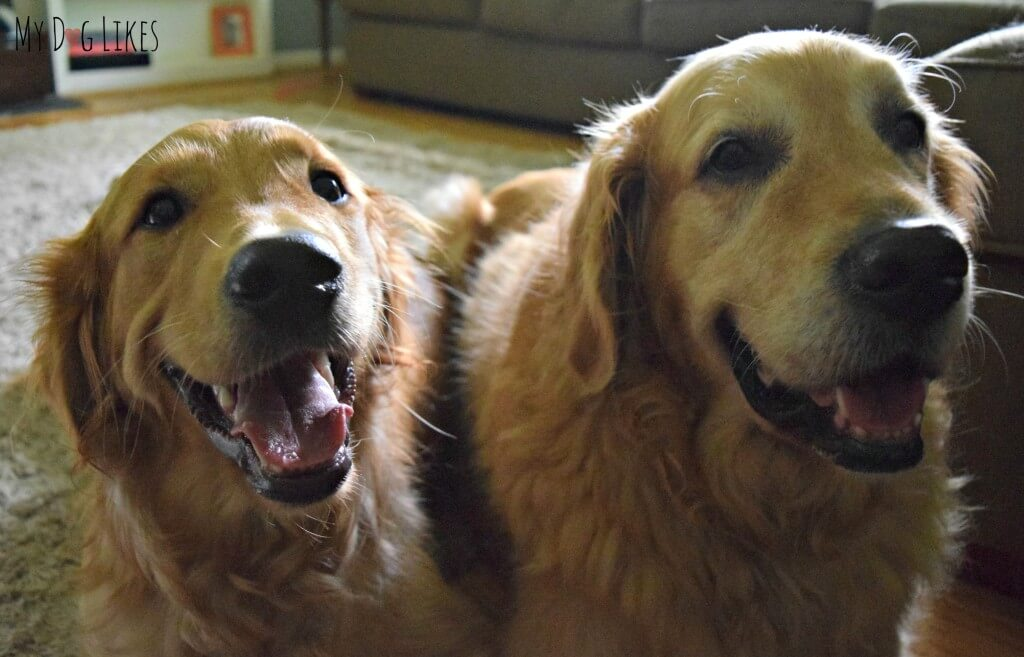 Our Golden Retrievers Harley and Charlie