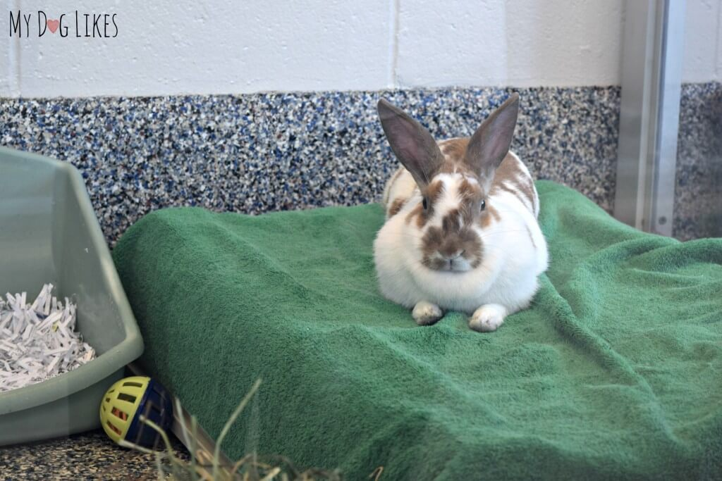 A bunny up for adoption at Lollypop Farm in Rochester, NY