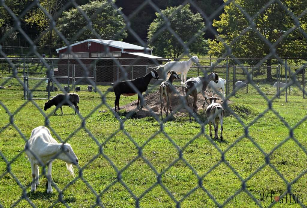 Goats in the Lollypop Farm animal sanctuary