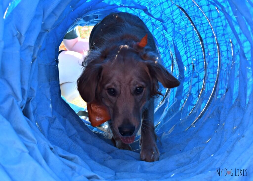Charlie making his way through the dog tunnel obstacle on the agility course