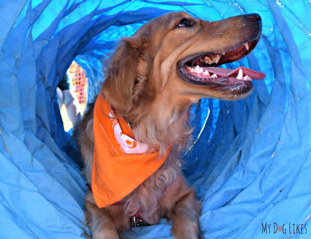 Charlie taking a break halfway through the dog tunnel obstacle