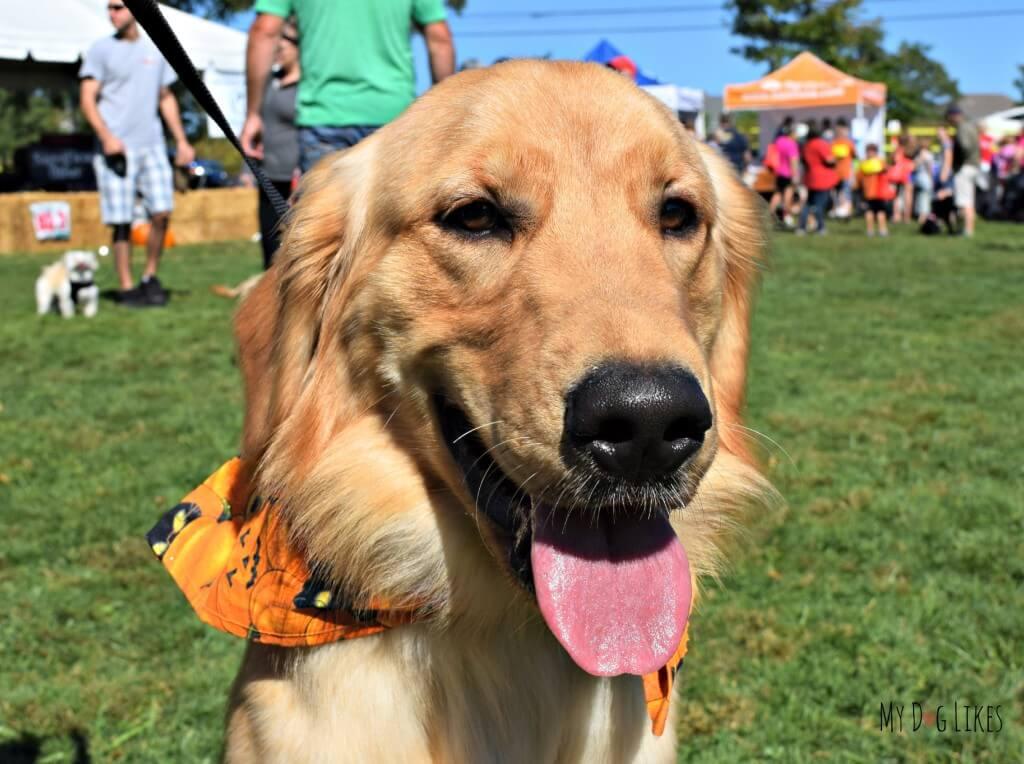 Harley and Charlie met lots of Golden Retriever friends at Barktober Fest