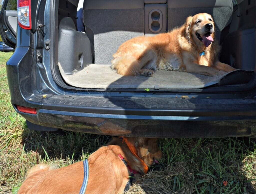 Charlie is not ready to leave as we are headed out from Lollypop Farm's Barktoberfest!