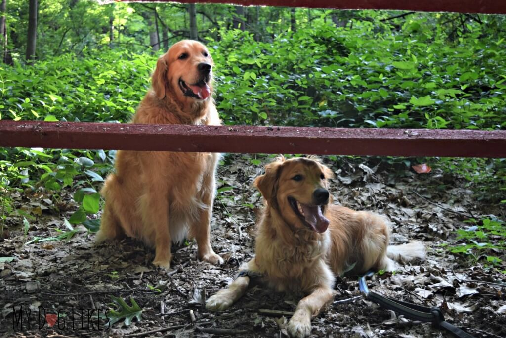 Our Golden Retrievers Harley and Charlie on the Woodchip Trail at Corbett's Glen in Rochester, NY