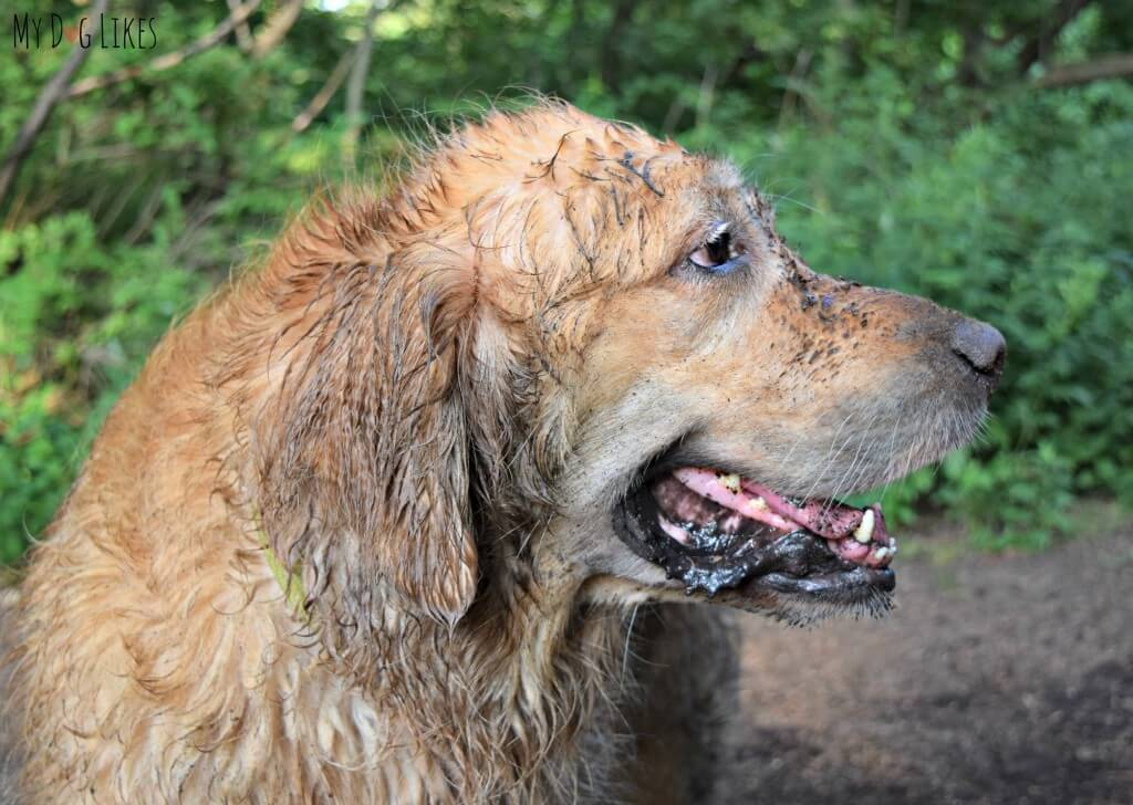 Harley is one dirty dog after a swim and a roll in the dirt at Corbett's Glen!