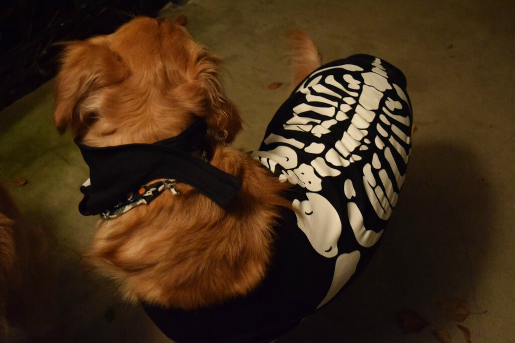 Charlie in his Dog Skeleton Costume for Halloween!