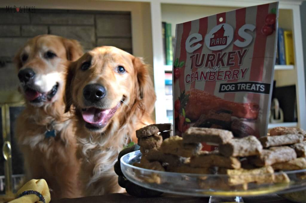The golden boys posing in hopes for some extra treats! Here they are waiting to try Plato EOS turkey with cranberry!