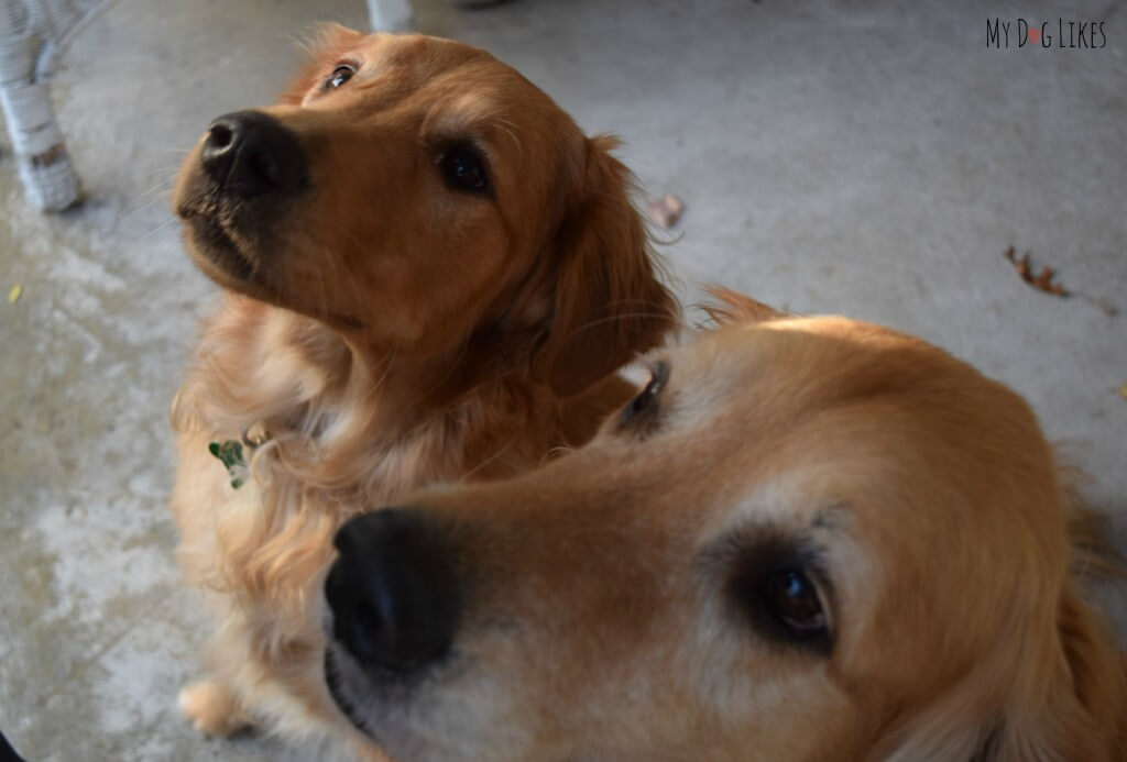Harley and Charlie waiting for a taste of their Plato EOS dog treats