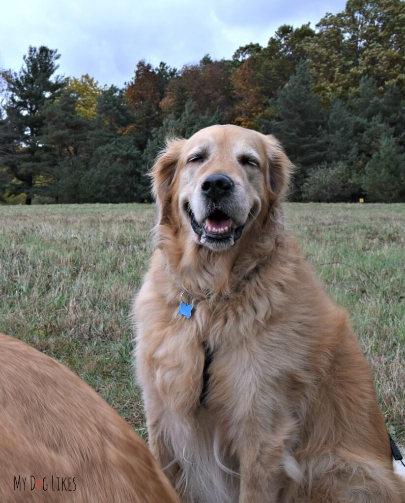 Our Golden Retriever Harley thrilled to be out for a Fall hike
