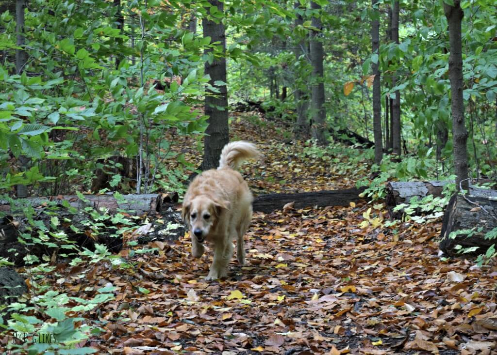 Hiking in Rochester with our dog Harley at Gosnell Big Woods