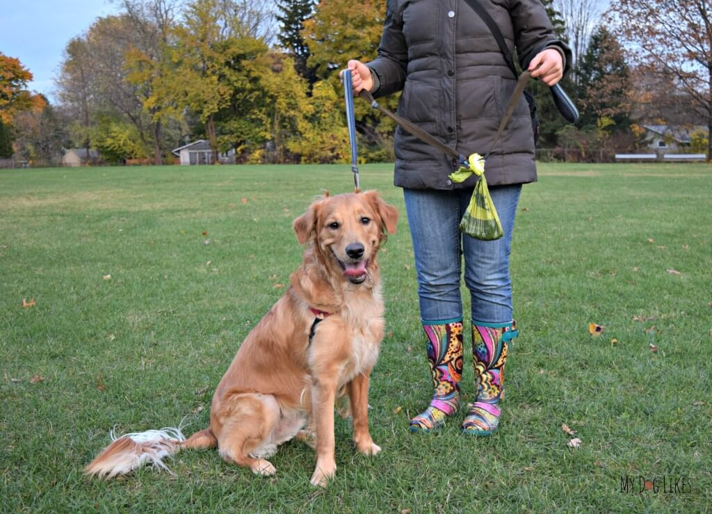 Our Golden Retriever Charlie testing out The Fifth Paw leash attachment