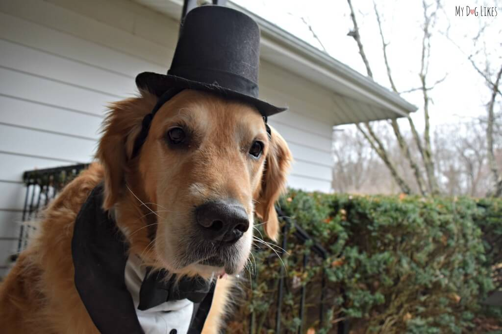 Our Golden Retriever Harley modeling his dog formal wear - a dog tuxedo bandanna and a top hat!