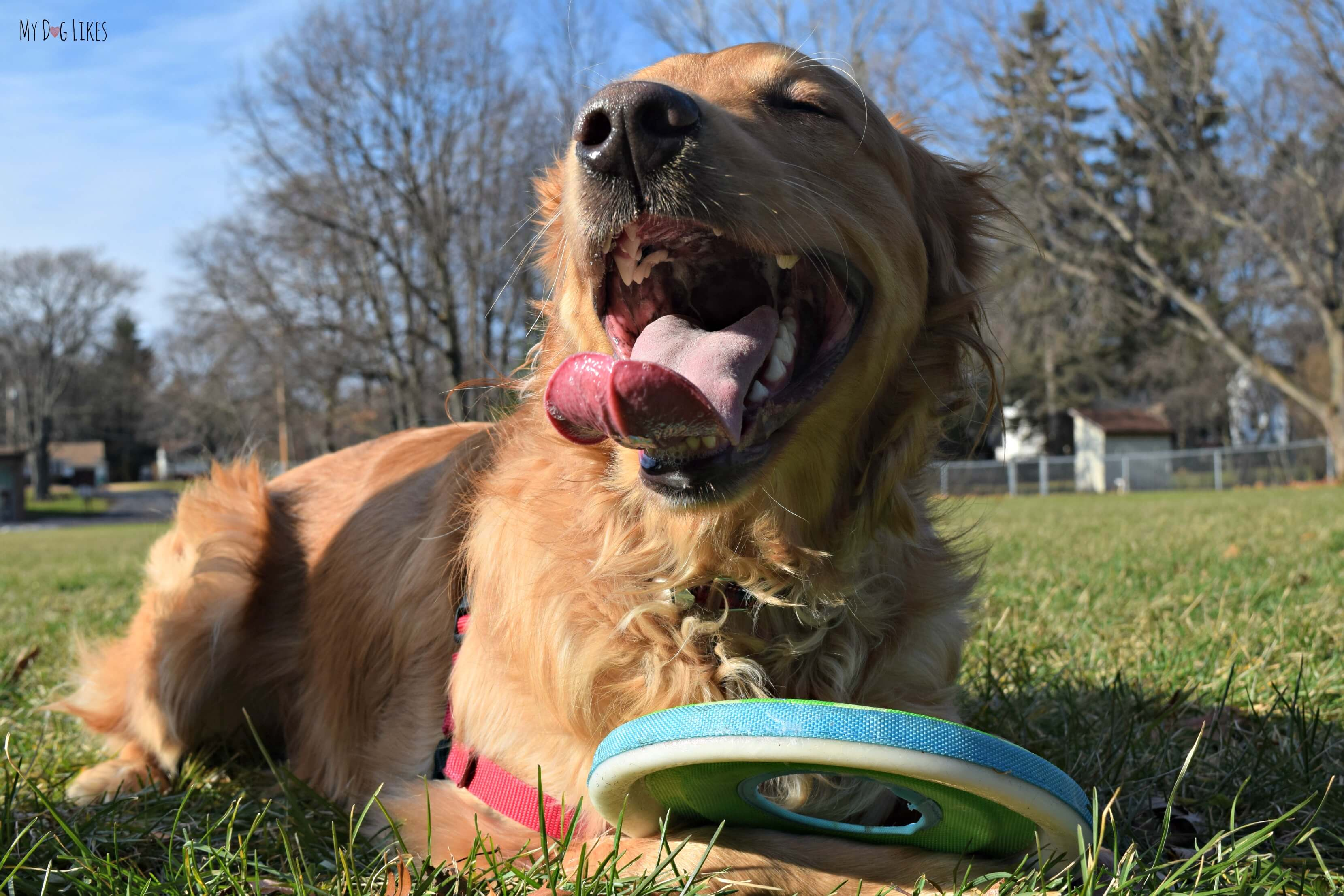 Our Golden Retriever Charlie Is A True Frisbee Dog!