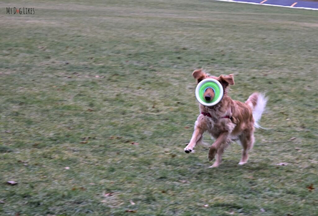 Charlie's Zipflight dog frisbee covering his eyes while he runs!