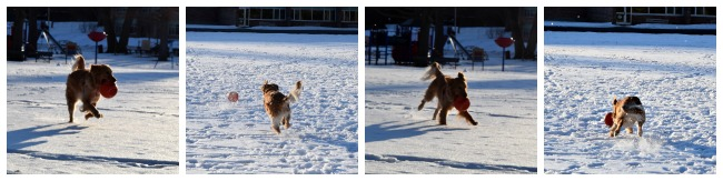 Our dog playing in the snow while testing out the Zeus Bomber dog toy!