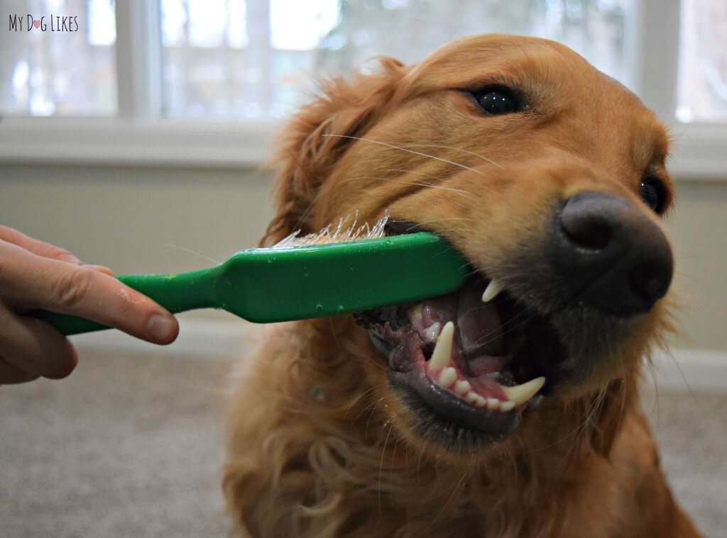 Using a giant toothbrush in our Dog Dental Health Month photoshoot! Visit MyDogLikes for lots of dog products reviews and funny dog pics!