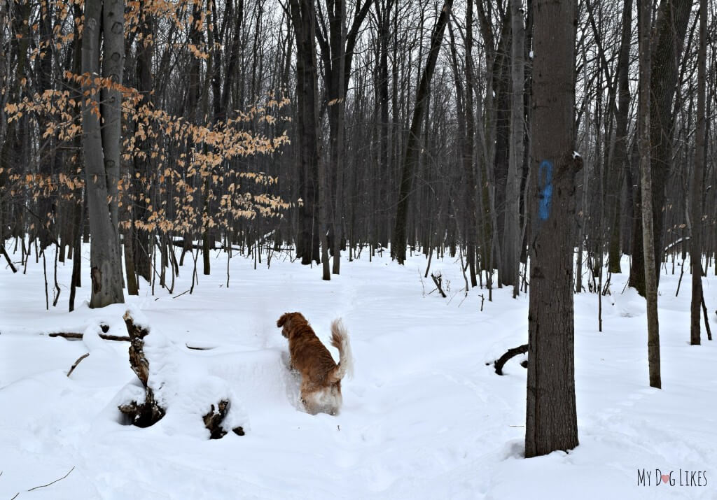 Trailblazing on a winter hike with the dogs near Rochester, NY