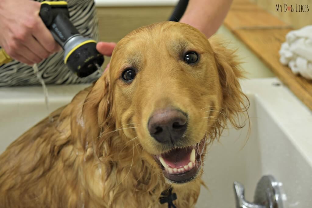 Our Golden Retriever enjoying a refreshing dog bath at PetSaver Superstore!