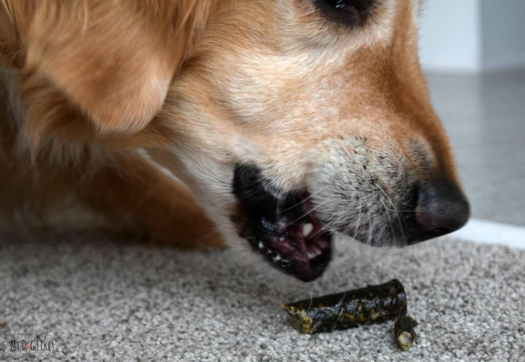 Harley devouring a Merrick Texas Toothpick dental chew!