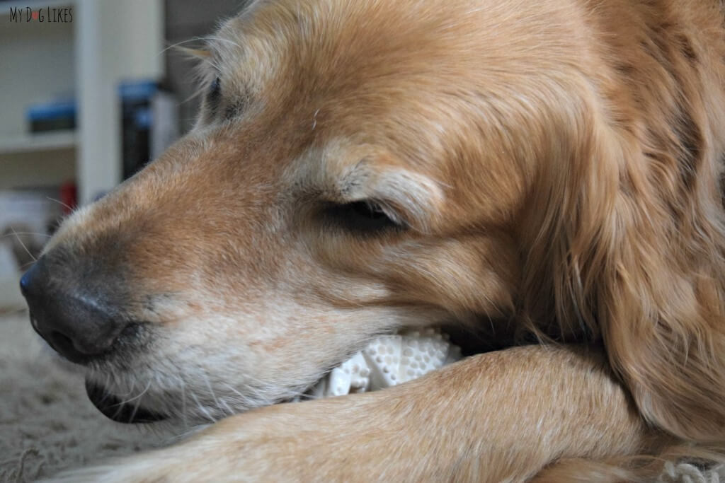 Harley from MyDogLikes tests out and reviews a dinosaur shaped Nylabone Dental Chew