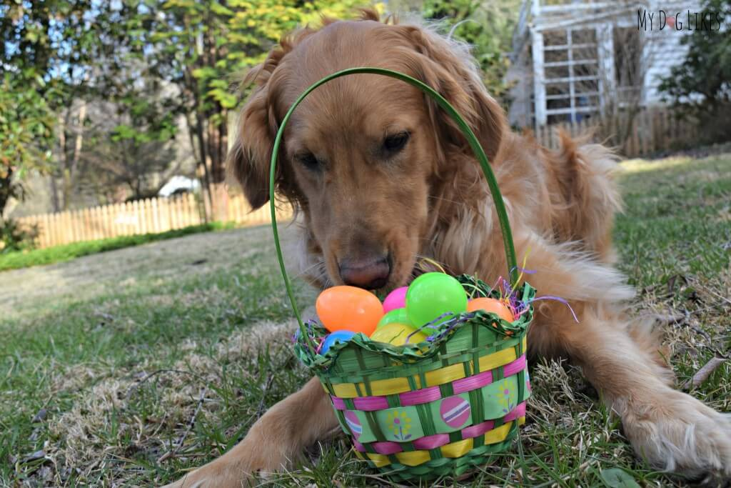 Dog easter egg goldenacresdogs wordless wednesday hunting for eggs negle Image collections