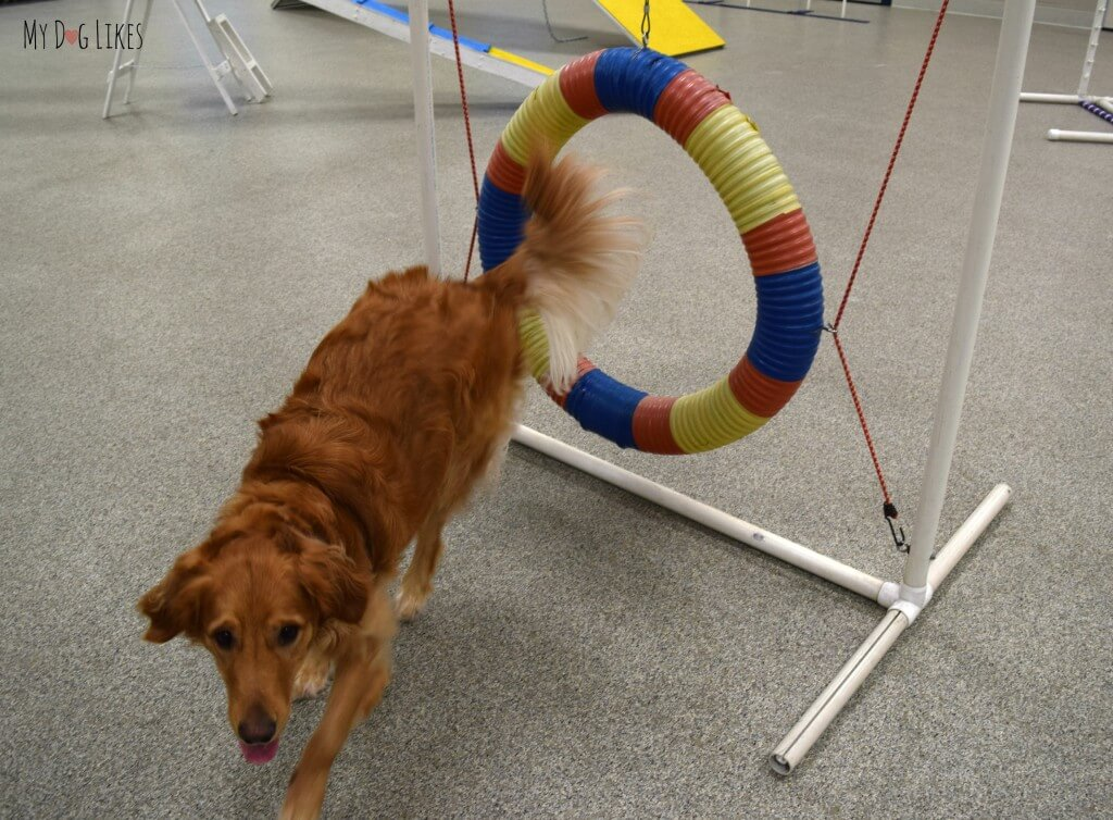 Charlie conquering the hoop obstacle in the agility course at Lollypop Farm!
