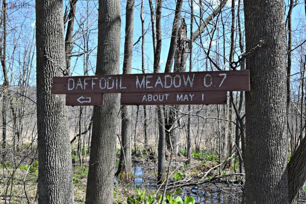 Daffodil Meadow