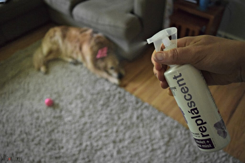 Using Isle of Dogs Deodorizing Spray to freshen up our living room rug!