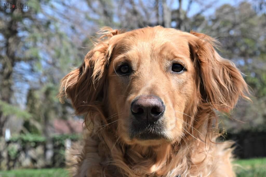 Our beautiful Golden Retriever dog Charlie