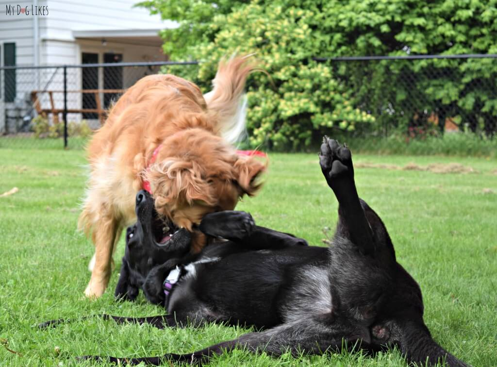 Charlie playing with his best dog friend Meera!