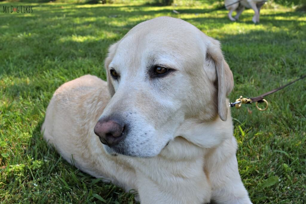 A beautiful yellow lab service dog we met at the NBBA World series.