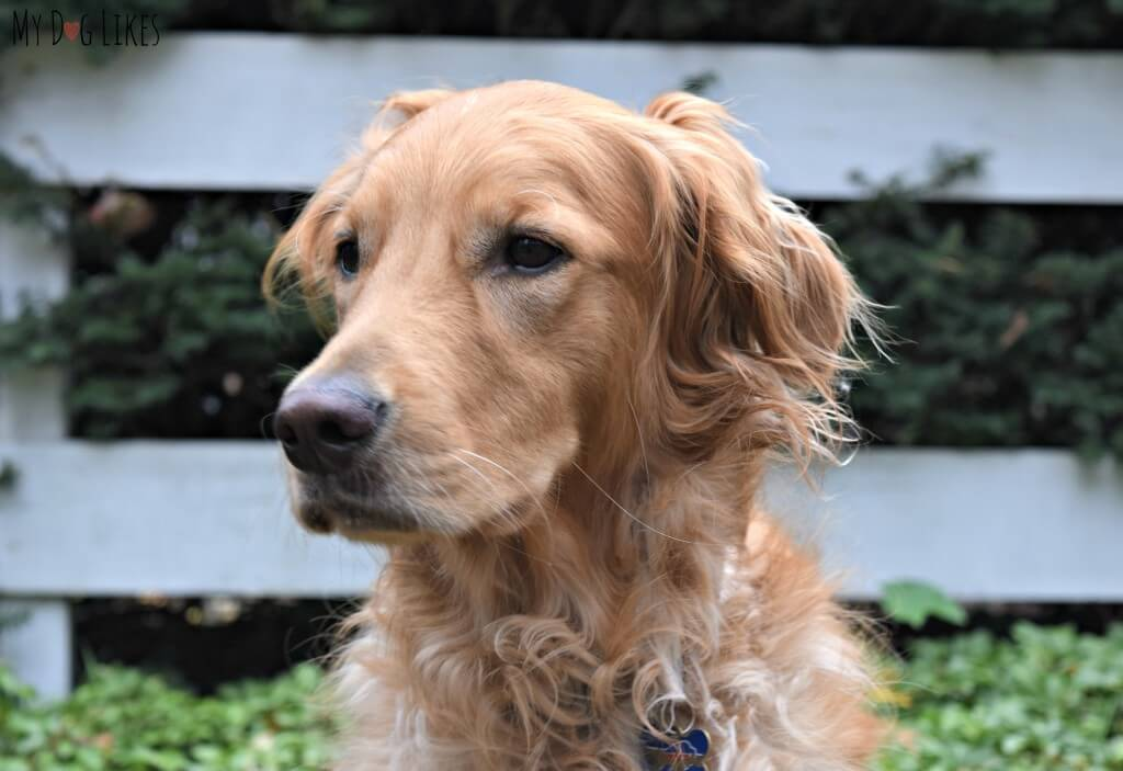 Our Golden Retriever Charlie in desperate need of a groom!