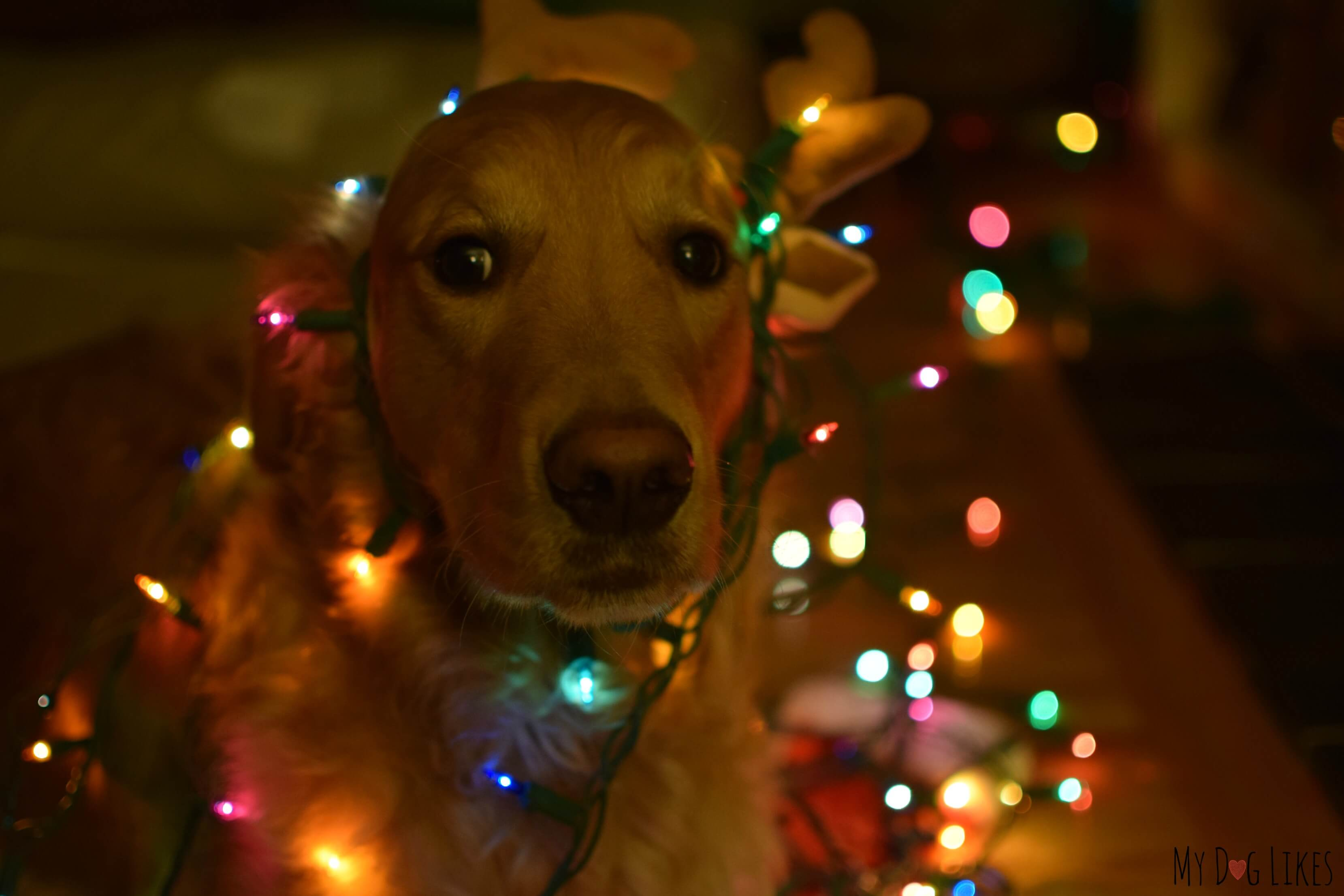 charlie tangled up in christmas lights our golden retriever charlie tangled up in christmas lights - Dog Christmas Lights