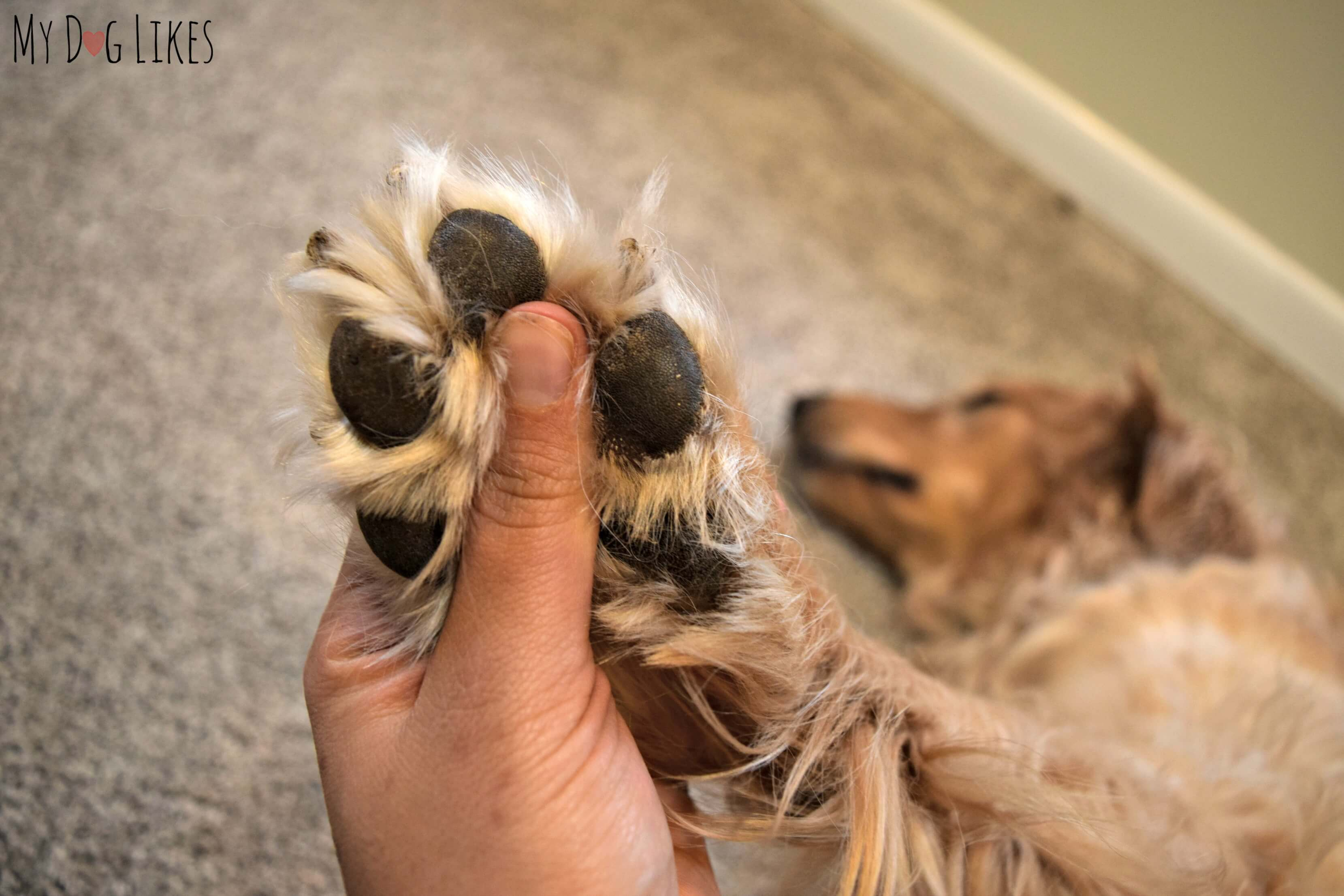 trimming a dog s nails with wagglies dog nail clippers
