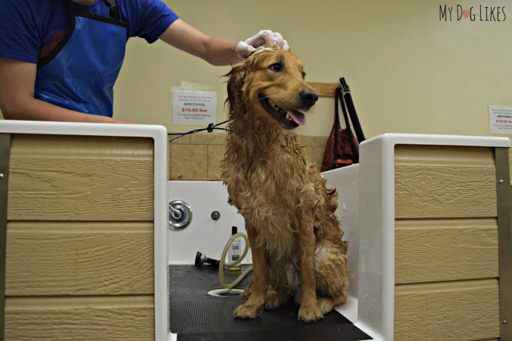 Charlie in the dog self wash station at PetSaver Superstore