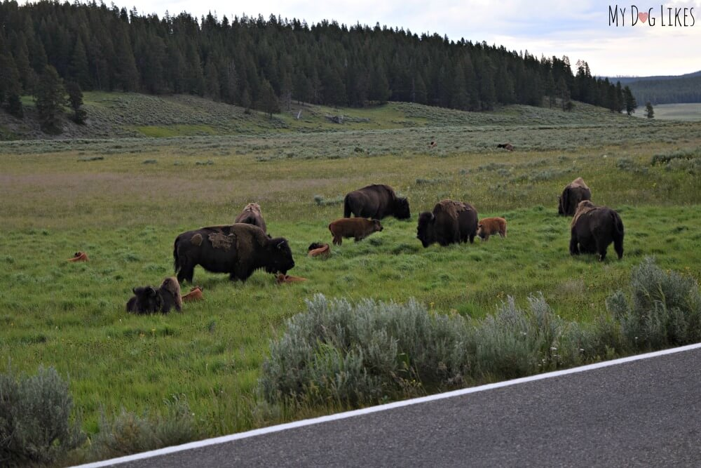 Yellowstone is home to many large buffalo herds that are often seen wandering the roadways!