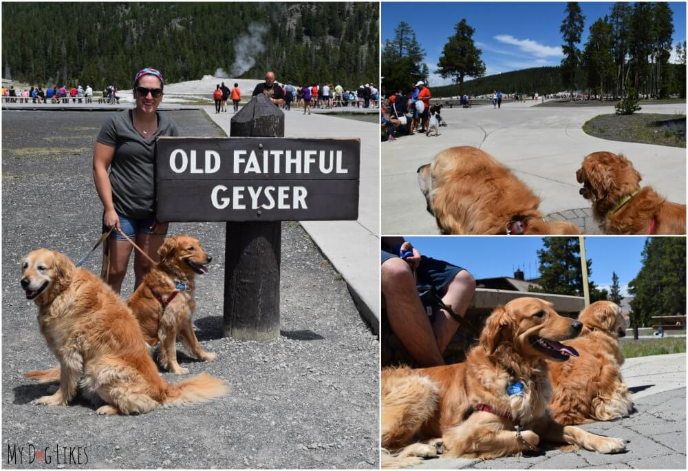 It is possible to view Old Faithful Geyser with Dogs - just not from the boardwalk!