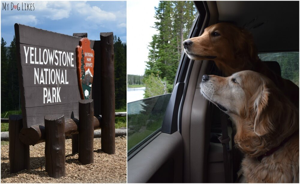 Visiting Yellowstone National Park with Dogs! Check here for all our traveler tips!