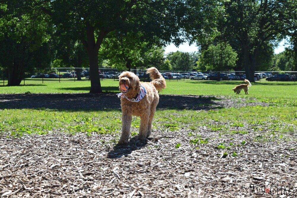 Spencer was giving Charlie a run for his money at the dog park!
