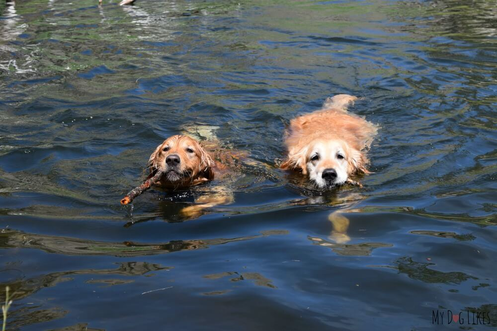 Our dogs Harley and Charlie swimming in Sylvan Lake