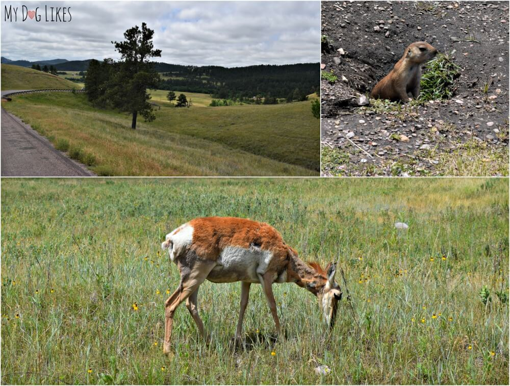 Prairie Dogs and Pronghorn Antelope were among the wildlife we encountered while driving the Wildlife Loop at Custer State Park.