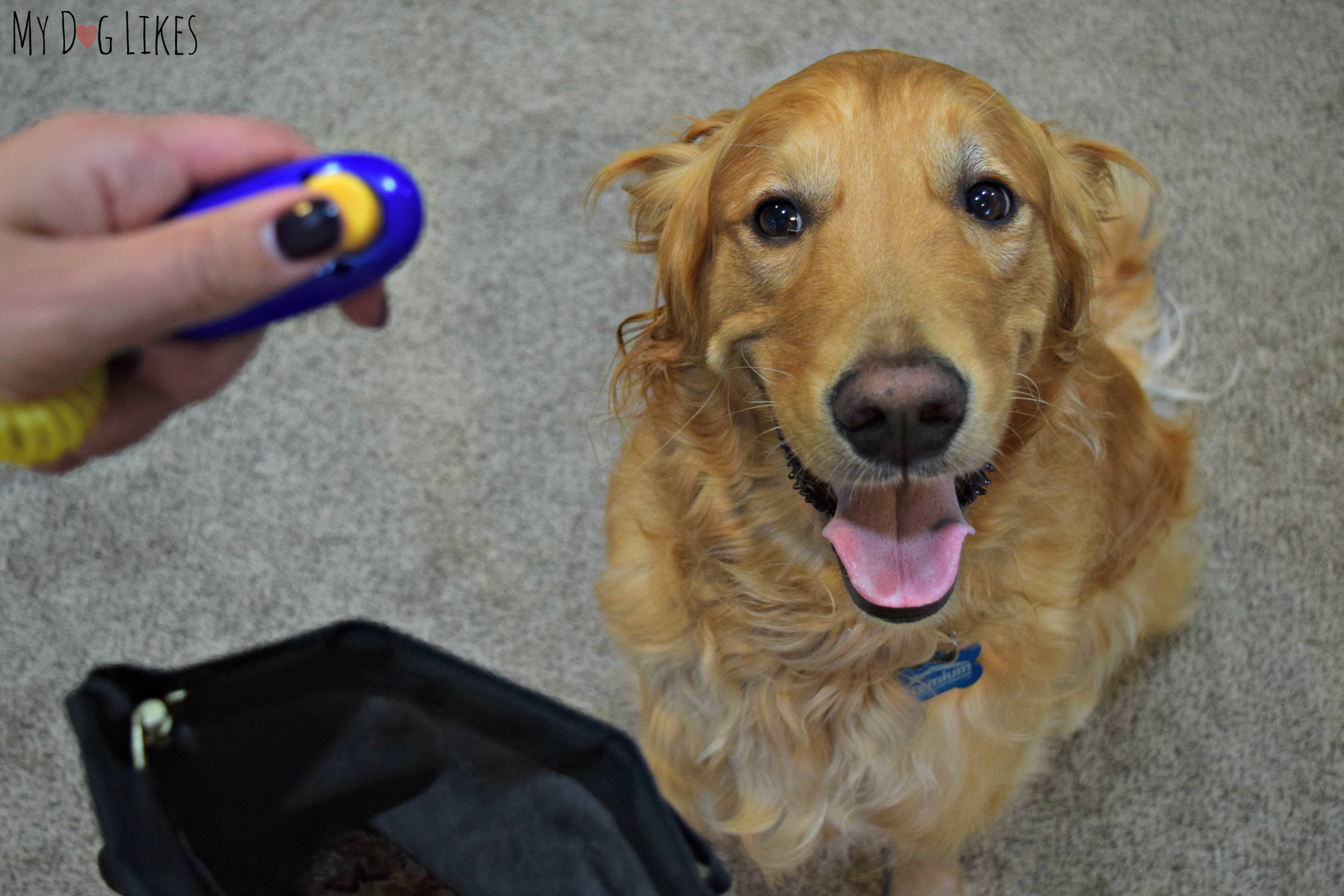 "Using a clicker to teach Charlie the ""Place"" command"