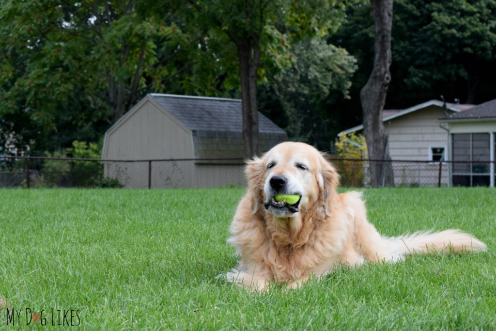 Harley chewing a tennis ball - something he has loved ever since he was a young pup!