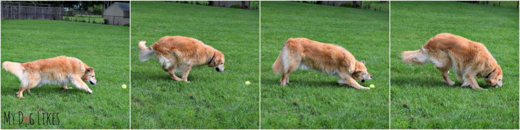 Our Golden Retriever Harley fetching a tennis ball
